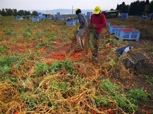 Caporalato, a Foggia al via raccolta pomodori della legalità